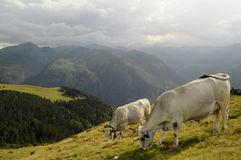 Cows. Herd of cows, in french Pyrenees, Ariege Stock Image