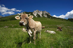 Cows. Passo del Crocedomini (Bs),Lombardy,Italy, dairy cow to pasture Royalty Free Stock Photography