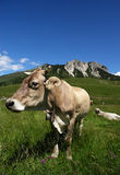 Cows. Passo del Crocedomini (Bs),Lombardy,Italy, dairy cow to pasture Stock Image