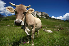 Cows. Passo del Crocedomini (Bs),Lombardy,Italy, dairy cow to pasture Stock Images