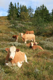Cows. Grassing in the mountains of Norway stock photography