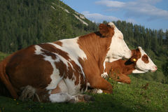 Cows. Resting royalty free stock photos