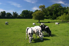 Cows. Grazing in a field Stock Photo