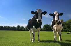 Cows. Two cows in a field Royalty Free Stock Images