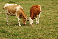 Cows. Royalty Free Stock Images