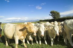 Cows. Herd of cows in field Royalty Free Stock Photos