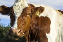 Cows. Herd of cows in field Royalty Free Stock Images