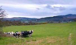 Cows. A herd of cows in a field Stock Photography