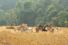 Cows on stubble fields. royalty free stock photos