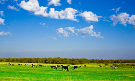 Cows. Farm animals,Cows in field Stock Images