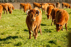 Cows Royalty Free Stock Photo