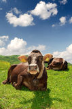 Cows. In Pass Tonale-Italy royalty free stock images