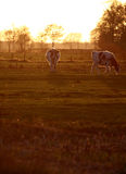 Cows. A photo of cows in a meddow royalty free stock photo