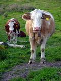 Cows. Two looking cows on the grass Royalty Free Stock Images