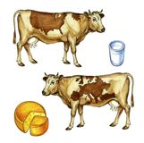 Cows. With US & Europe maps spot Royalty Free Stock Photography