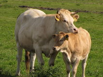 Cows. Mother cow protects her daughter Royalty Free Stock Image