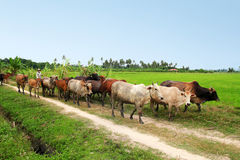 Cows. A group of cows in the field royalty free stock photo