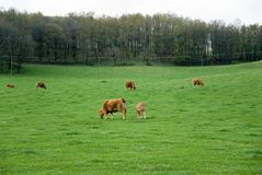 Cows. Standing on the meadow and pasturing Stock Photos