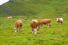 Cows. Some swiss cows grazing in swiss mountain landscape Stock Photography