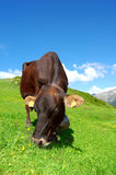Cows. In Pass Tonale-Italy Stock Image