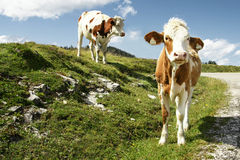 Cows. Cow and calf in pasture stock images