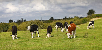 Cows. A field of cows with an odd one out concept Royalty Free Stock Images