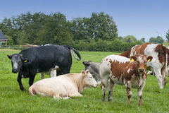 Cows. Different coloured cows standing in a meadow before a farm Royalty Free Stock Photography