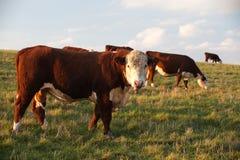 The cows Stock Photos
