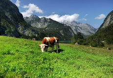 Cows. In an alpine hill Stock Photography
