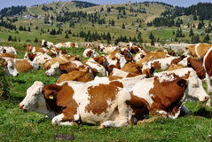 Cows. Brown white cows on a farmland Stock Image
