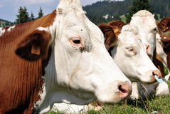 Cows Stock Photos