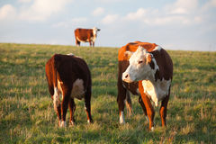 The cows Royalty Free Stock Images