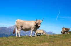 Cows Stock Photos