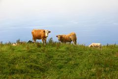 Cows. Azores farm cows at the coast of sao Miguel Stock Photo