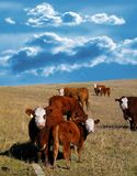 Cows. In field stock image