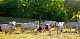 Cows. Royalty Free Stock Photography