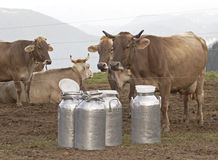 Cows. In Val di Scalve, Alps mountains, Italy Royalty Free Stock Image