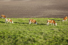 Cows. An image of some nice eating cows Royalty Free Stock Photography
