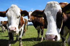 Free Cows Royalty Free Stock Photo - 2667835