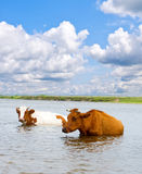 Cows. Is looking for coolness in the water of river royalty free stock image