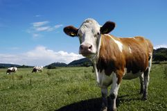 Free Cows Stock Image - 2680541