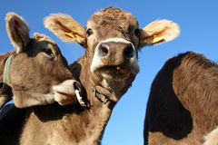 Cows. A herd of young cows in Bavaria Stock Images