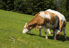 Cows. Two cows grazing in the meadow, Austria Leogang Royalty Free Stock Images