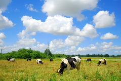 Cows. In a field. Cloudy scenic Stock Photo