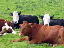 Cows. Four cows Royalty Free Stock Image