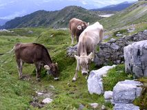 Cows 3. Cows passing the summer on the swiss alps stock photos