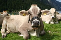 Cows. Image of cows in Austrian Alps / Tirol Stock Images