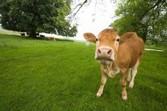 Cows Stock Image