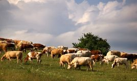 Cows. On meadow in Slovakia royalty free stock photos