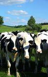 Cows. Three curious cows in a field looking at the camera Royalty Free Stock Photos